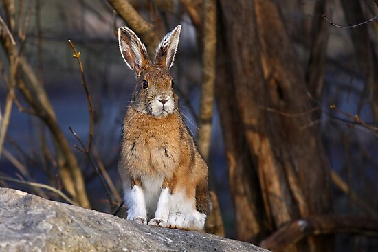 This Rabbit Rocks - Snowshoe Hare by Jim Cumming