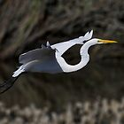 Low Flying Great White Egret by TJ Baccari Photography
