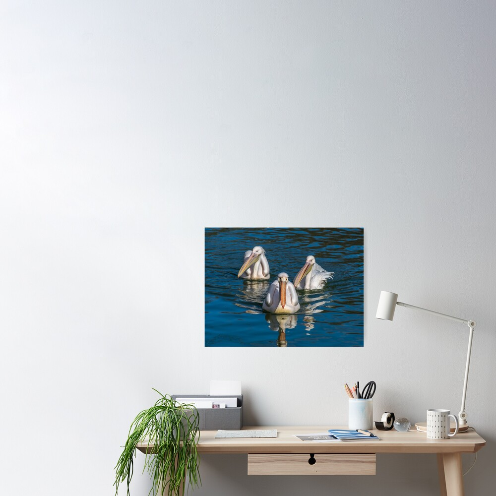 Three pelicans in a pond Poster