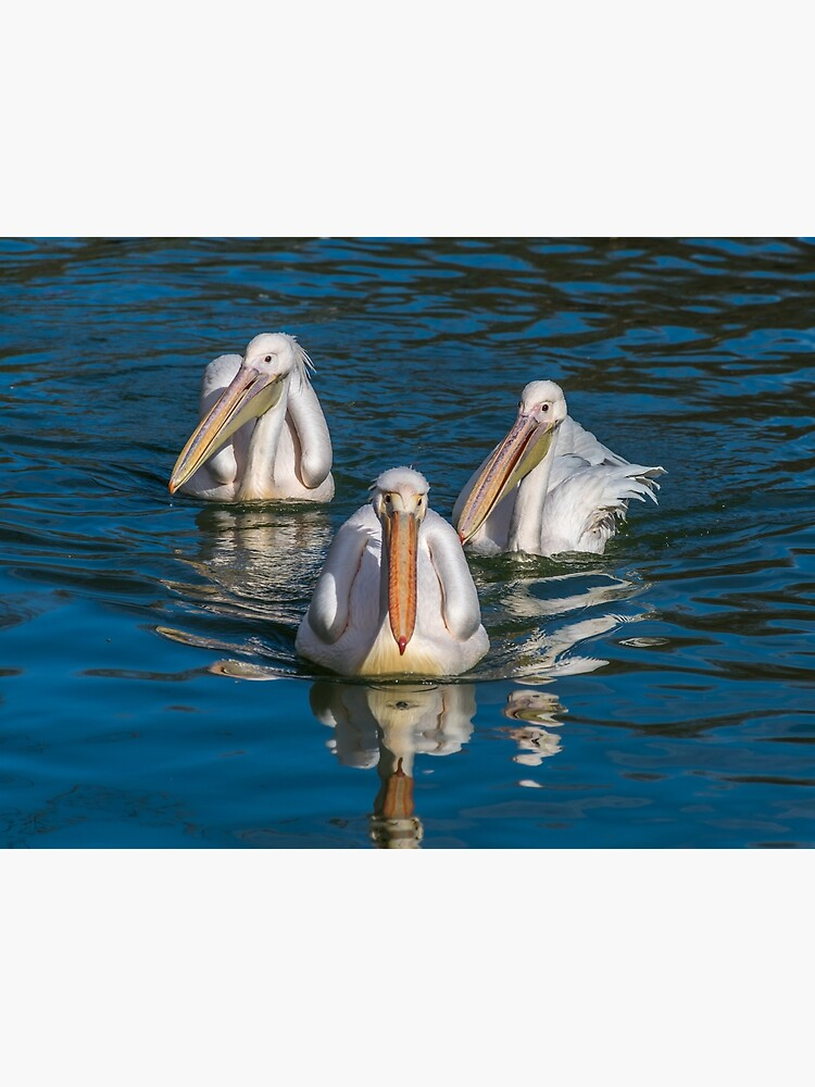 Three pelicans in a pond by tdphotogifts