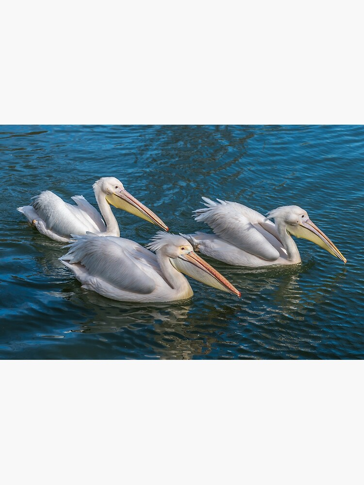 Three pelicans up close by tdphotogifts