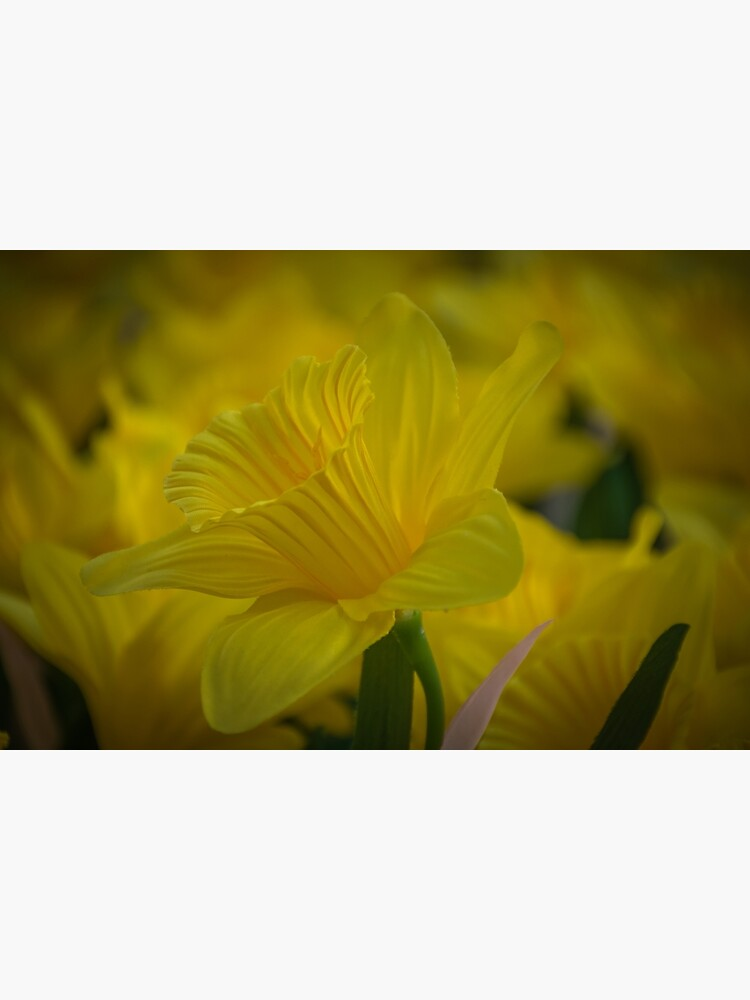 Daffodil up close by tdphotogifts