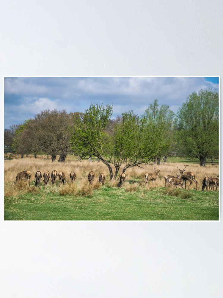 Alternate view of Deer in Richmond Park, London Poster