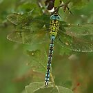 Green Hawker by Robert Abraham
