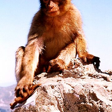 Young Rock Ape - Barbary Macaque by ZipaC