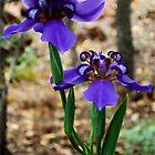 Neomarica caerulea – Walking Iris by Magriet Meintjes