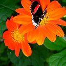 orange butterfly nectar by Danceintherain