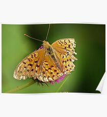 American Little Copper (Lycaena phlaeas) Poster
