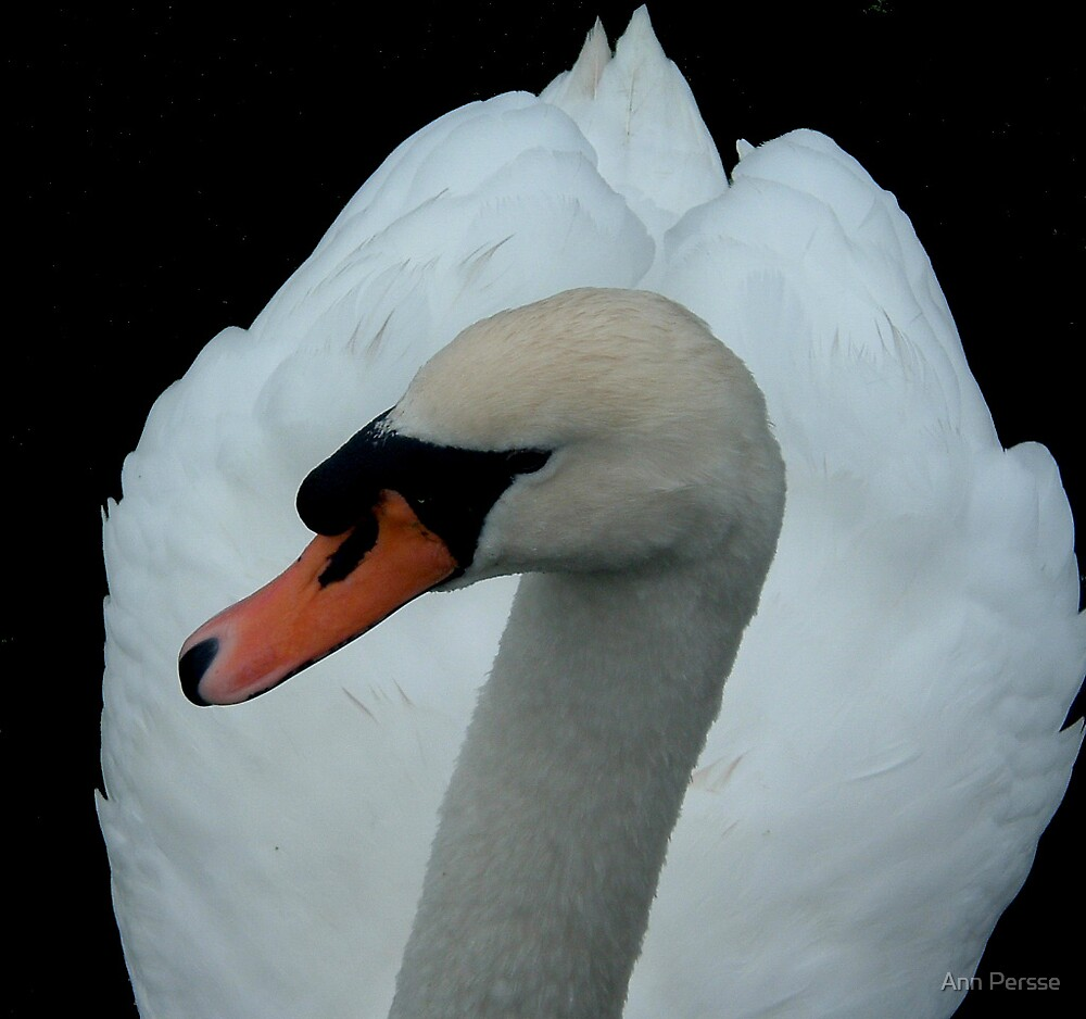 Swan  by Ann Persse