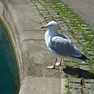Shall I or shan't I? Seagull Pondering by BlueMoonRose