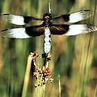 A Resting Dragonfly by Martha Sherman