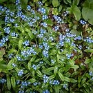 Little Blue Wildflowers by Robert Bruce Anderson