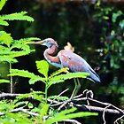 Juvenile Tricolored Heron  by Cynthia48