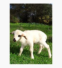 A Newborn Lamb Finding Its Feet Photographic Print