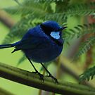 Blue Wren in all his finery by adbetron