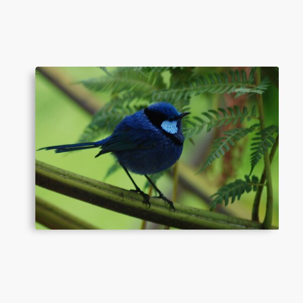 Blue Wren in all his finery Canvas Print