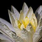 Sonnenbaden Seerose von Celeste Mookherjee