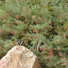 Australian Native, Grevillea rosmarinifolia, & bird, 'Arilka', Mt. Pleasant.  by Rita Blom
