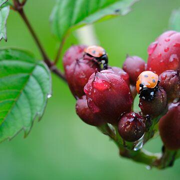 Ladybugs by pvb25