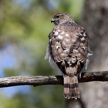 Coopers Hawk by darby8
