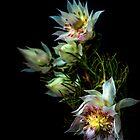 Blushing Bride Protea by alan shapiro