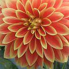 Beautiful orange Dahlia by loiteke