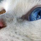 Daisy the Heterochromia eyed cat by Douglas M. Paine