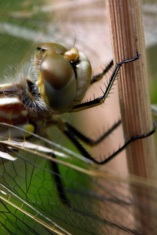 Variegated Meadowhawk, Immature Female, Portrait 1 by Wolf Read