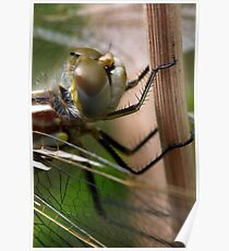 Variegated Meadowhawk, Immature Female, Portrait 1 Poster