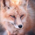 Fox by jswolfphoto