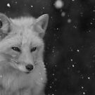 White Fox by jswolfphoto