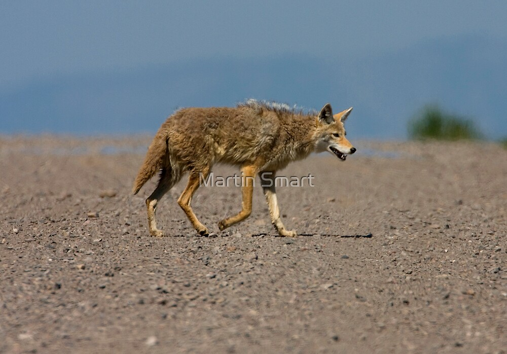 Lonesome Coyote by Martin Smart