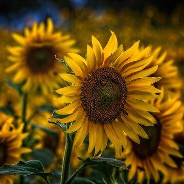 Sunflower by birba