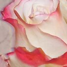 Pink And White Rose by Sandra Foster