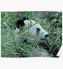 San Diego Zoo Panda  Poster