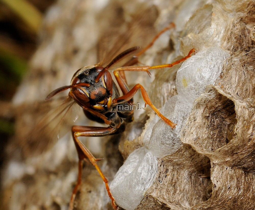 Paper Wasp by main1