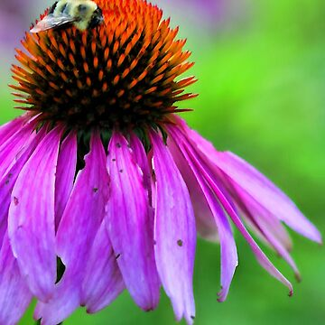 Red Coneflower - Bumble-Bee by rural-guy