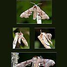 The One-eyed Sphinx Moth by DigitallyStill