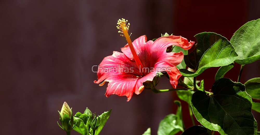 Hibiscus by Charuhas  Images