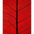 Red leaf by Philipe3d