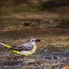 Female Grey Wagtail with prey by M G  Pettett