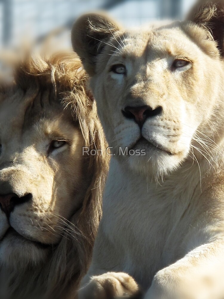 White Lions  by ronmoss