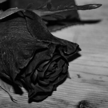 Black and white rose by franceslewis