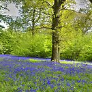 Walking with Bluebells by Bob Culshaw