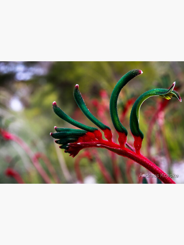 Kangaroo paw by mistered