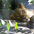 Lazy Lioness by Michele Markley