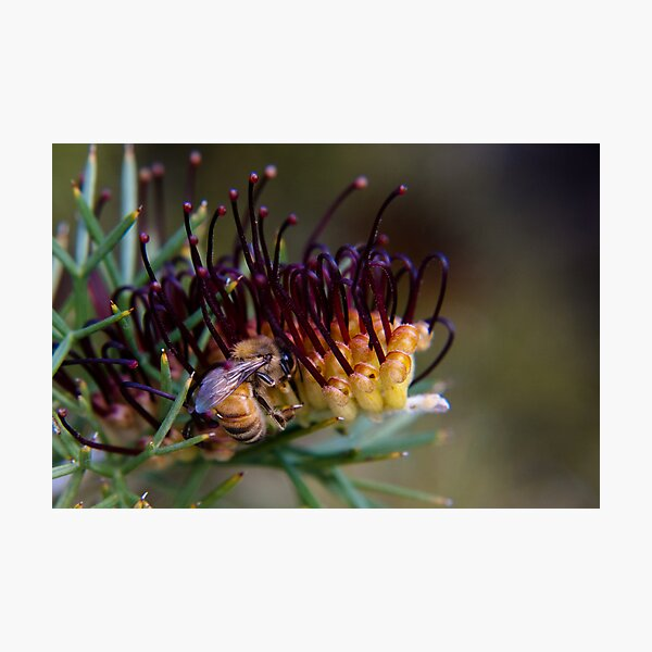 Bee on prikly toothbrushes Photographic Print