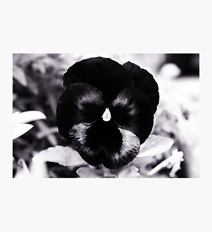 Black Pansy Photographic Print