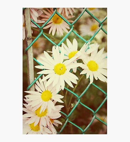 Flowers in the fence.... Photographic Print