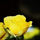 Little yellow rose.... by DDLeach